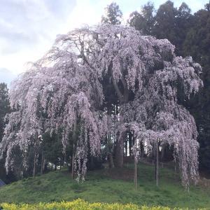 福島県北の桜