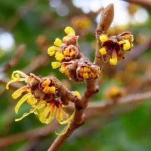 まんず咲く花~マンサク