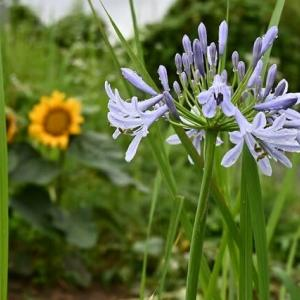 雨に咲く花・・・アガバンサス