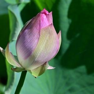 蓮の花の命