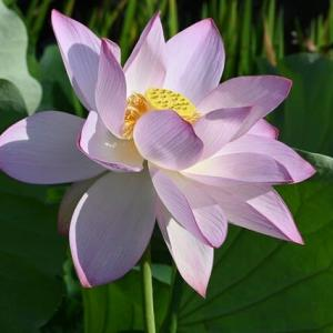 蓮の花(池)のその後
