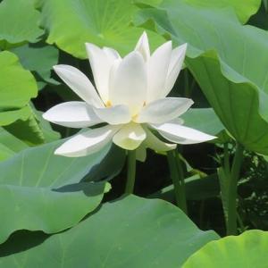 純白のハスの花