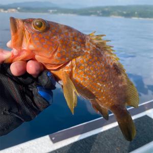 残暑のタイラバ釣行。真鯛、キジハタ祭り開催!