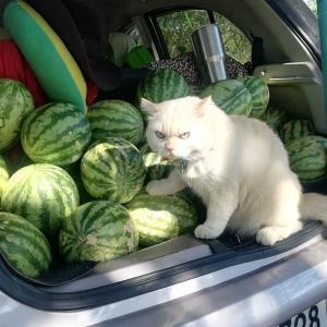 このスイカは渡さん!スイカを監視する猫