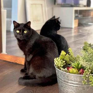 黒猫は不吉じゃないです、ステキです。
