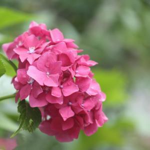 庭の紫陽花もそろそろ梅雨明け