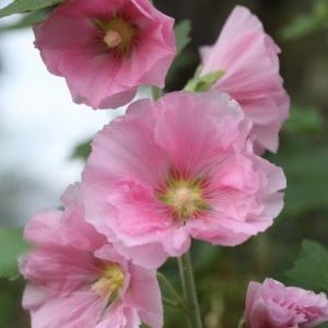 庭の立葵(タチアオイ)再び