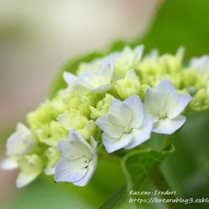 紫陽花はシャーベットトーン