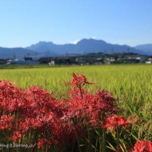 稲田と彼岸桜