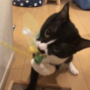【悲報】興奮しすぎて新しいおもちゃを壊しちゃった猫はこちらです...