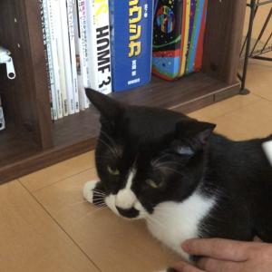 【抜け毛対策】ブラッシングをされる猫はこちらです...