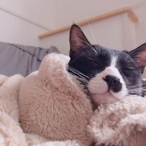 【お疲れ気味なあなたへ】寝てる猫はこちらです...(ジョー編)