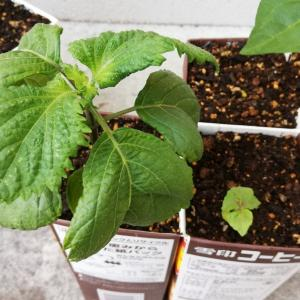 牛乳パックで大葉栽培、葉っぱ掻きで病気と害虫予防だよ