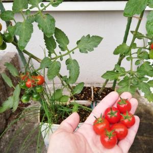 牛乳パックでミニトマト栽培の限界!摘心するよ