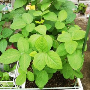発泡スチロールで黒枝豆栽培、摘心するタイミングが分からなかっんだよ