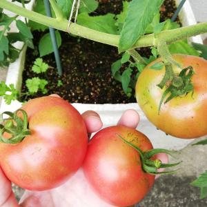発泡スチロールで大玉トマトが収穫ラッシュだよ