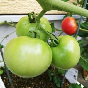 発泡スチロールの大玉トマトが葉焼け?久しぶりの収穫だよ