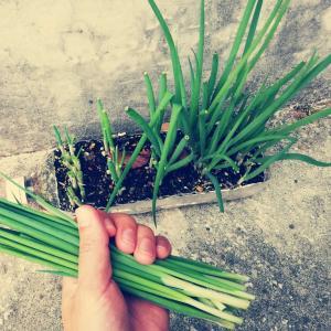 ペットボトルで葉ネギ再生栽培がコスパ最高で最強なんだよ【成長観察記録まとめ】