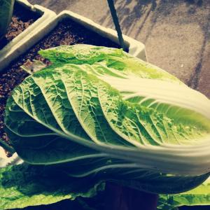 発泡スチロールで黄芯80日白菜の結球と収穫!中までギッシリだったんだよ