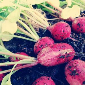 ペットボトルで二十日大根の成長変化と収穫まで!割れた原因は収穫遅れじゃない気がするよ