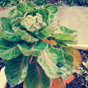 発泡スチロールで芽キャベツ栽培、少し大きくなってきたよ
