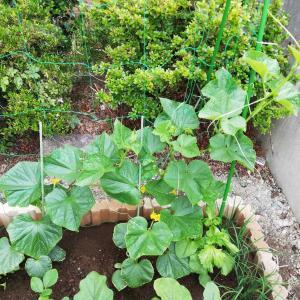 キュウリ(シャキット)栽培、葉っぱ1枚の差なんだよ