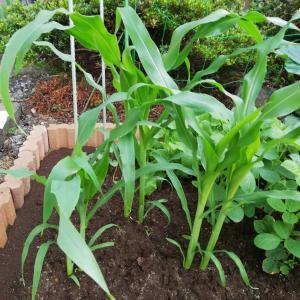 トウモロコシ(ゴールデンアロー)栽培、植える場所間違えたよ