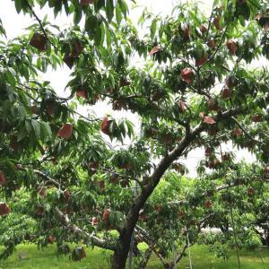 桃の実の袋掛けが終わり、中身が見えないんだよ