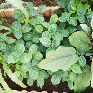 大さや枝豆に液肥の葉面散布?復活!緑色になってきたよ