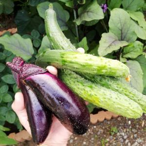長ナス(黒陽)栽培、追肥が効いて初収穫だよ