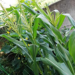 トウモロコシ(ゴールデンアロー)栽培、これで受粉が間に合うのかよ