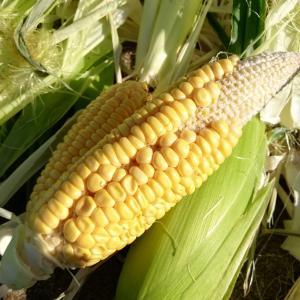 ゴールデンアローの収穫、初めてのトウモロコシ栽培は難しかったよ