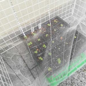 育苗の為に〜100均材料で簡易の防虫ハウスの再作成と、冬野菜の種蒔きだよ