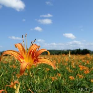 クワンソウは沖縄の伝統島野菜!今帰仁ざまみファームで花摘み体験可