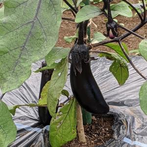 夏野菜を作っています。今日は、家庭菜園の草取りをしました。