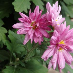 *今年も背が高くなった菊の花