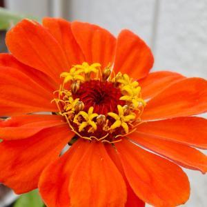 *ヒャクニチソウの中の花を観る
