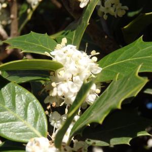 *ヒイラギの白いお花の中にアンジェラが咲く