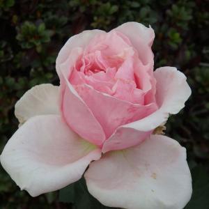 *オードリーヘップバーンが咲きそうです