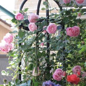 ラ・レーヌ・ヴィクトリア 雨が続いてお花の写真がなく
