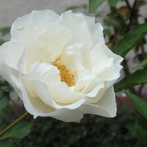 白いバラ シューラネージュ