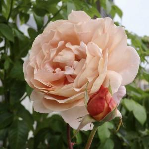 茶系のバラ、マロンは香りも紅茶色