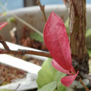 ブルーベリーの紅葉と植え替え
