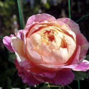 ぽってりと咲いたクロードモネ