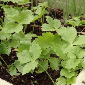 種まきして、ベランダの野菜たち