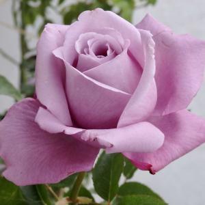 お迎えしたバラ、シャルル ド ゴール
