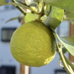 柚子の香り 一才柚子