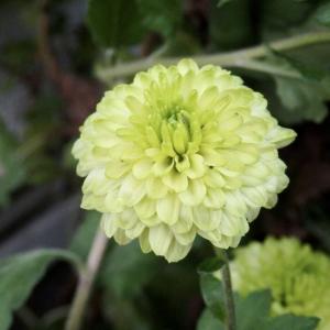 穏やかな日、小菊が可愛く咲いています
