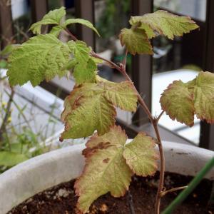 ラズベリーの植え替え ベランダでベリー