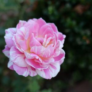 庭に咲くバラとブルーインパルス